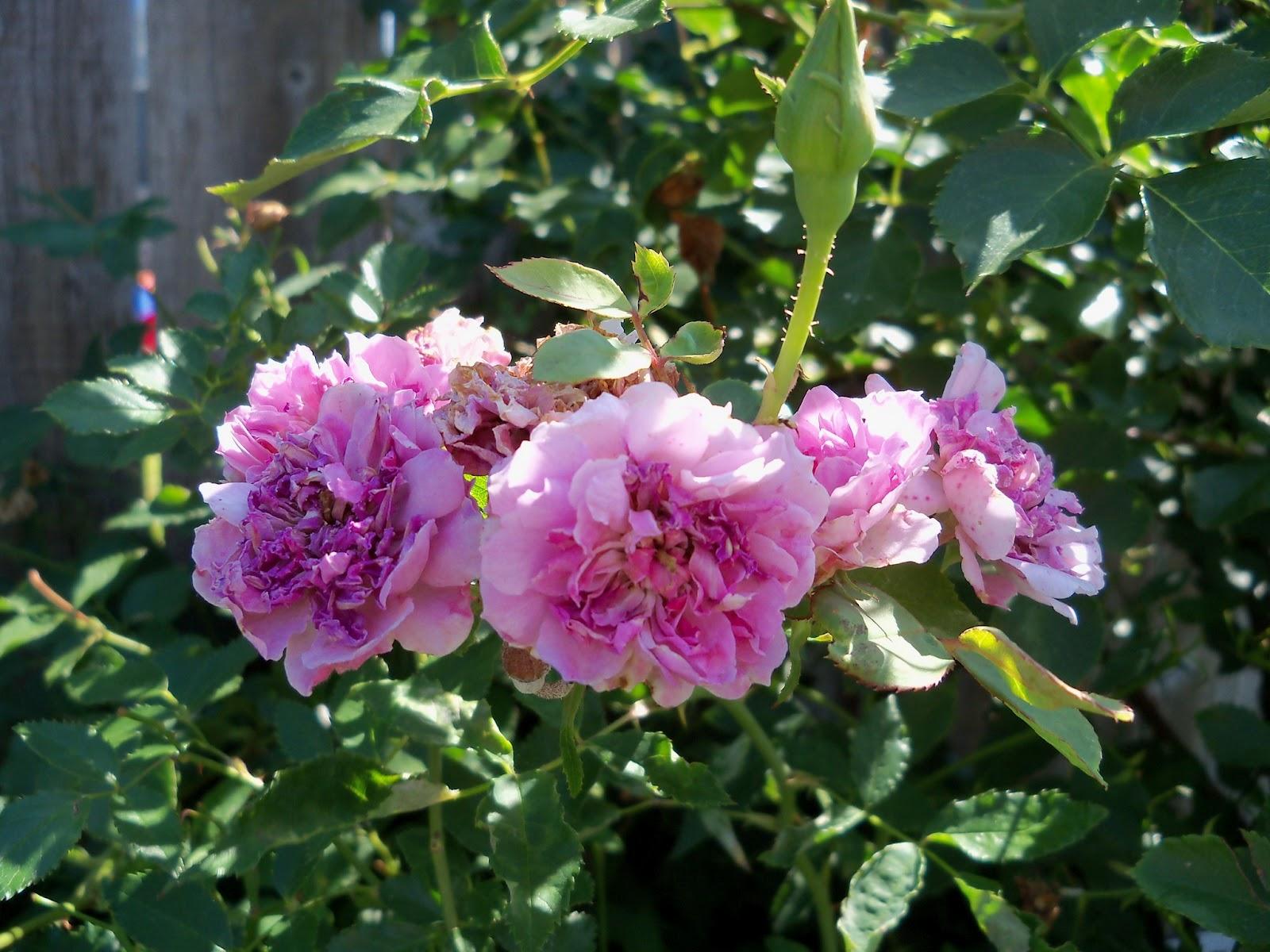 Gardening 2011 - 100_9076.JPG