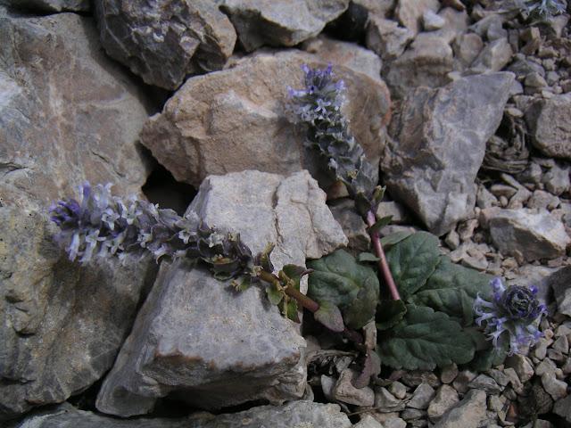 Lagotis sp., plante nourricière probable de Parnassius boedromius, vallon au SE de Kara Say, Mts Borkoldoy, Kirghizstan, 11 juillet 2006. Photo : F. Michel