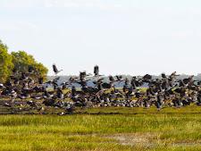 wildlife-magpie-geese-1.jpg
