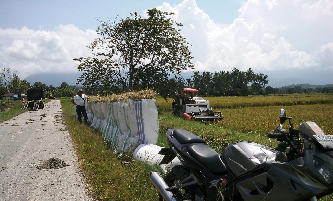Petani Luwu Timur Panen Padi : Kontribusi Nyata Jaga Stok Pangan
