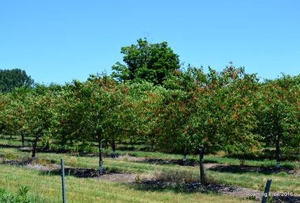 Cherry Trees are loaded!