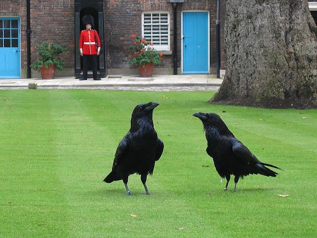 Anche con i corvi è solo questione di saperci parlare