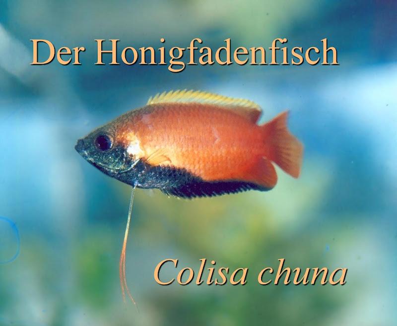 Honigfadenfisch Colisa chuna