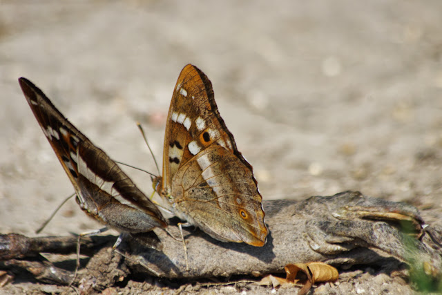 Apatura iris (L., 1758) et A. ilia (DENIS & SCHIFFERMÜLLER, 1775), mâles. Les Hautes-Lisières (Rouvres, 28), 18 juillet 2013. Photo : J.-M. Gayman