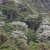 Forêt des nuages avec Cecropias. Environs de Los Cedros, 1400 m, Montagnes de Toisan, Cordillère de La Plata (Imbabura, Équateur), 18 novembre 2013. Photo : J.-M. Gayman