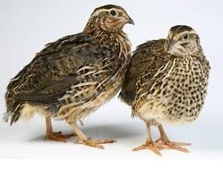Cara Beternak Burung Puyuh Untuk Pemula