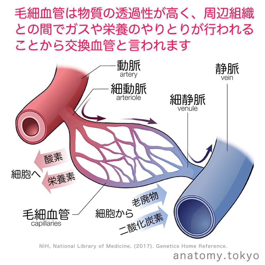t212-14-毛細血管は交換血管.png