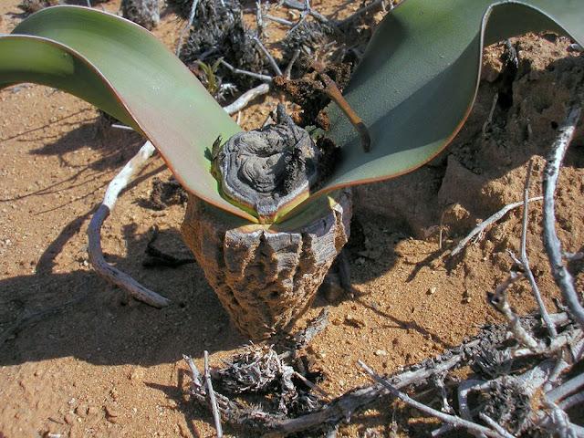 Tumboa, a planta do tempo dos dinossauros