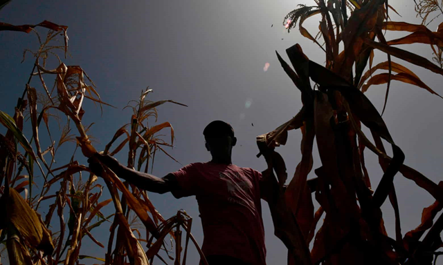 A farmer who lost his crops because of the drought, checks his maize field in the town of Usulután, El Salvador on 24 July 2018. Photo: Oscar Rivera / AFP / Getty Images
