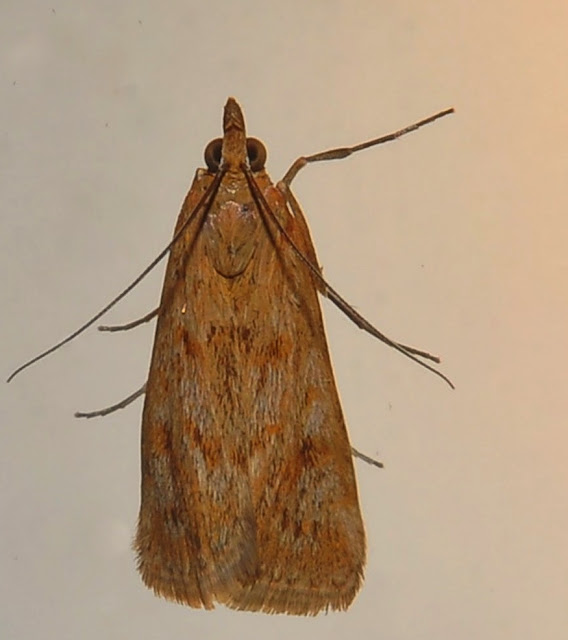 Crambidae : Pyraustinae : Achyra affinitalis LEDERER, 1863. Umina Beach (NSW, Australie), 26 septembre 2011. Photo : Barbara Kedzierski