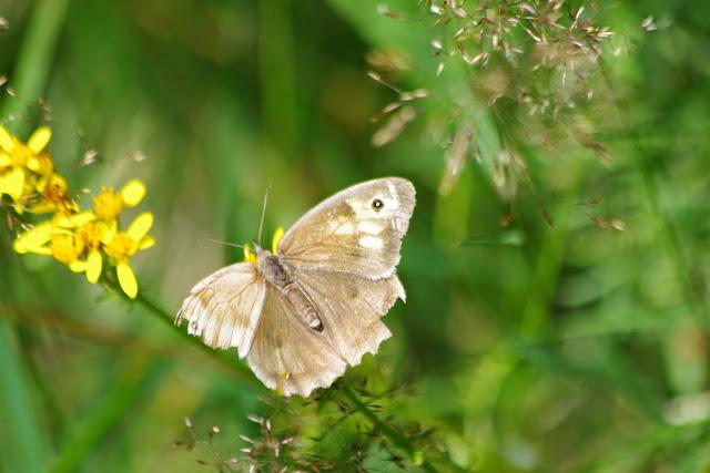 Maniola jurtina (L., 1758), femelle. Fau-de-Peyre, 1120 m (Lozère), 18 août 2014. Photo : J.-M. Gayman