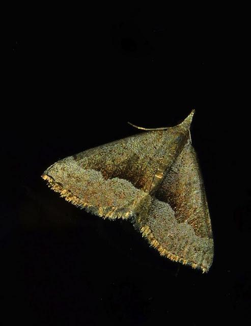 Geometridae : Oenochrominae : Dichromodes sp. (?). Umina Beach (NSW, Australie), 21 mai 2011. Photo : Barbara Kedzierski