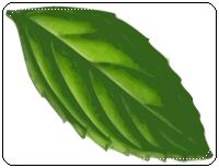 คำศัพท์ภาษาอังกฤษ_mint_Vegetable