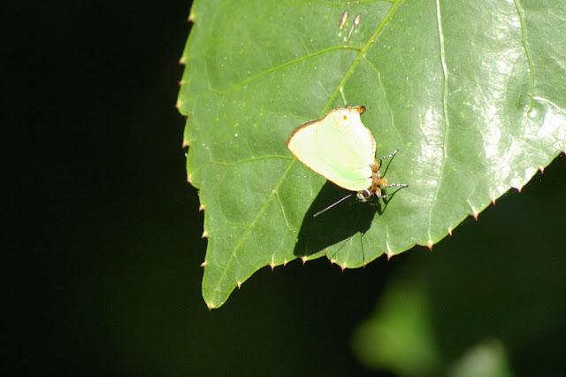 Cyanophrys acaste PRITTWITZ, 1865. Pulso (Ubatuba, SP), 12 février 2011. Photo : J.-M. Gayman