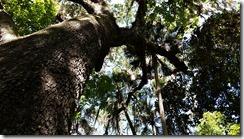 Looking up at oak