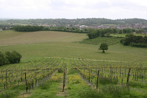 0905 060 Denbies Wine Estate, Surrey, England