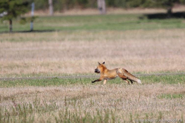 [fox%5B6%5D]