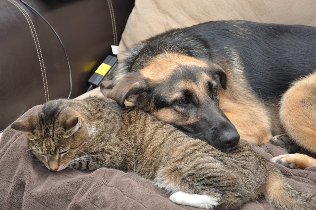 How Well Do German Shepherds Get Along With Cats