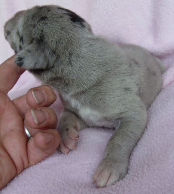 silver merle female @ 1 week/Jessie