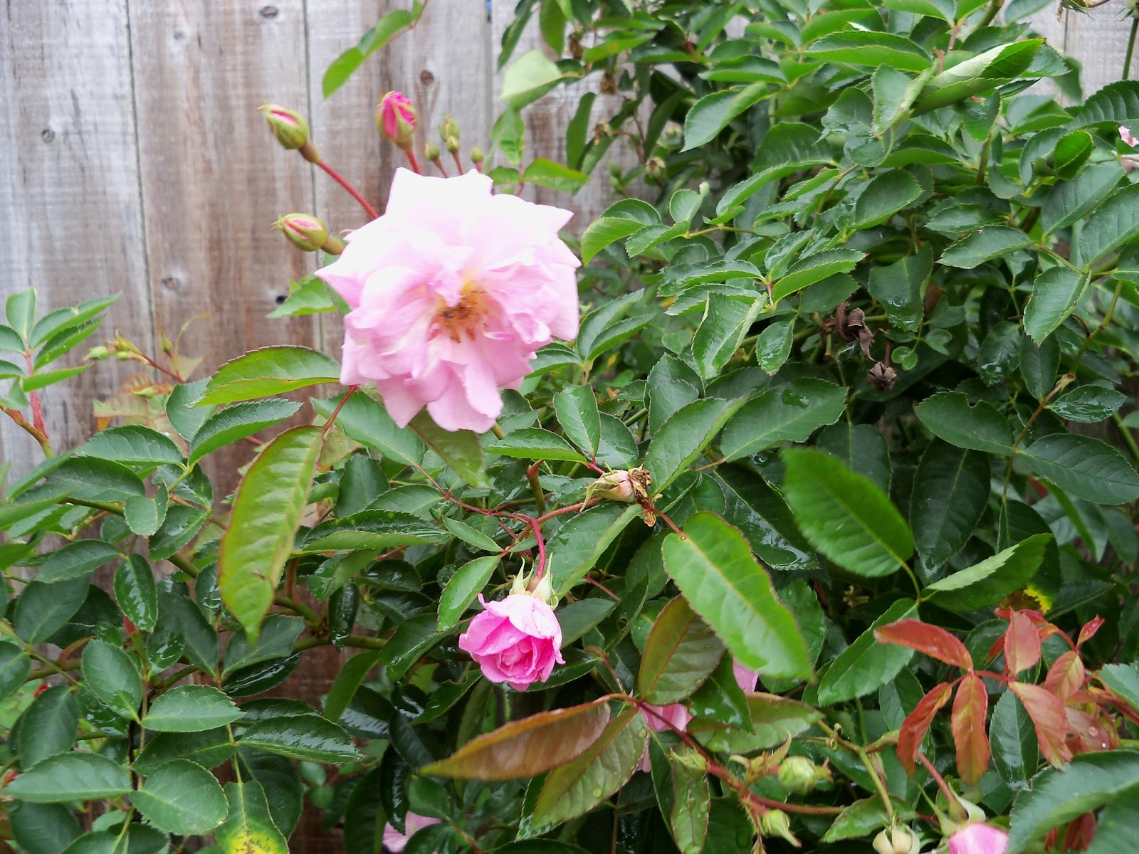 Gardening 2012 - 115_1358.JPG