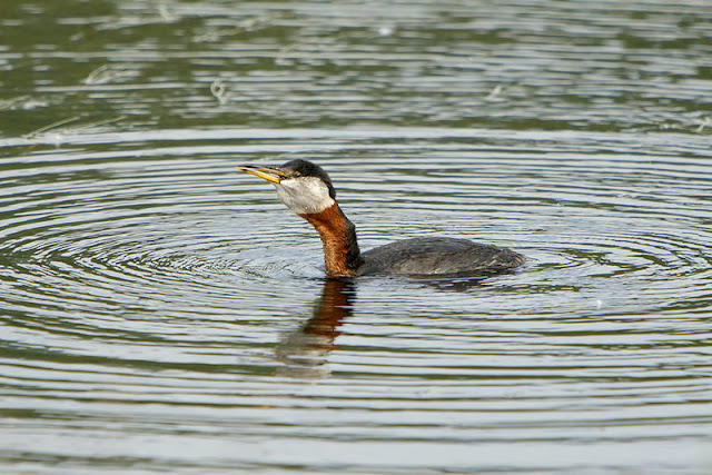 Red-necked Grebe with fish in its throat