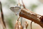 Vandreblåfugl, boeticus2.jpg