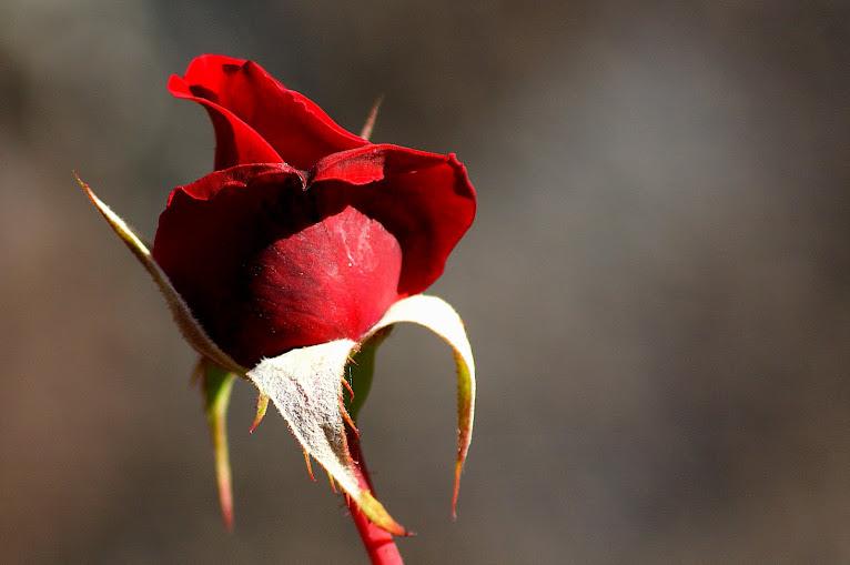 O perfume daquela rosa