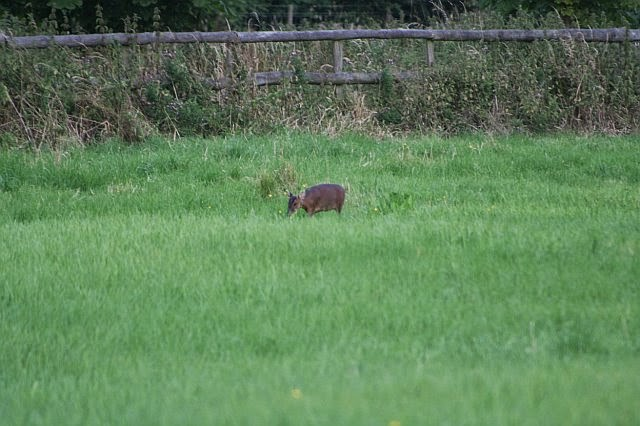 Woodhurst Wildlife Muntjac In The Grassfield - muntjac24.jpg