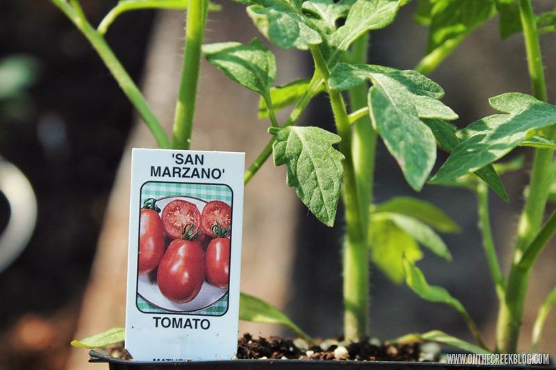 tomato plant san marzano