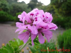 fleur de géranium rosat 2.jpg