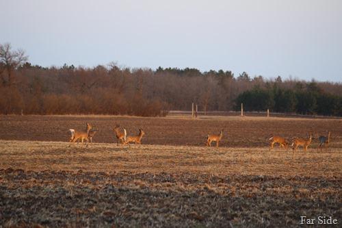 Eight deer closer up