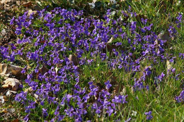 Violettes. Hautes-Lisières (28), 23 mars 2011. Photo : J.-M. Gayman
