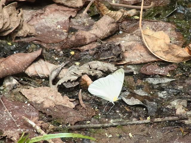 Leptophobia olympia olympia (C. Felder & R. Felder, 1861) ou bien L. tovaria sanctipetri Andrade, Le Crom & Winhard, 2004 (?). Quebrada Chirajara, 1050 m (Cundinamarca, Colombie), 25 novembre 2015. Photo : J. Michel