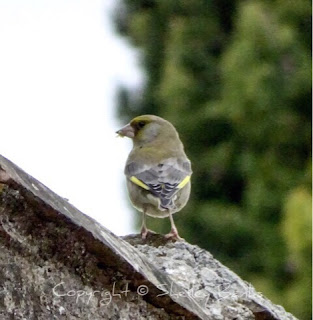 Greenfinch.Carassonne. Copyright © Shelley Banks, all rights reserved.