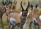Antelope - Antelope Island, Utah