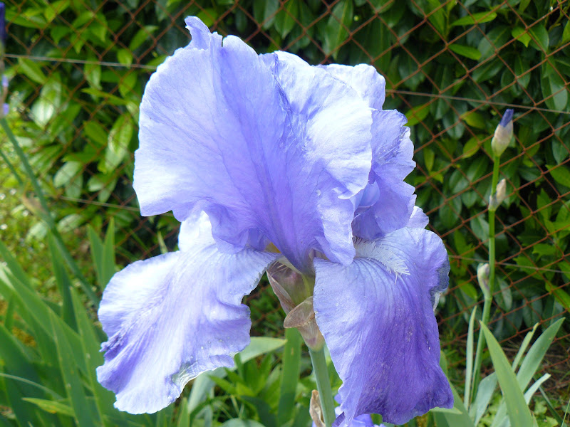 Des floraisons au jardin ... - Page 2 P1030402