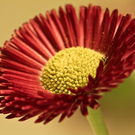 Daisy by Alessandro Calzolaro - Flowers Single Flower ( red, nature, daisy, close up, flower,  )