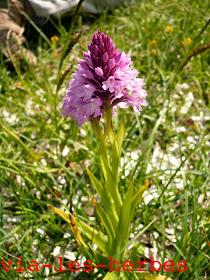 Orchis pyramidale, Anacamptis pyramidalis.jpg