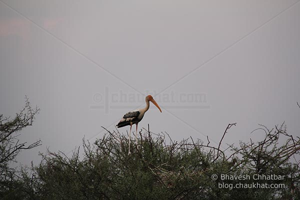 Painted stork standing alone