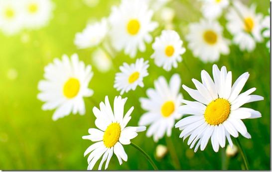 margaritas flores (23)
