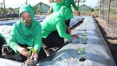 Perkuat Ketahanan Pangan, Persit Cabang X Rindam XII/Tpr Budidayakan Hortikultura
