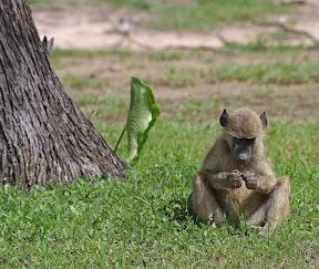 Baboon Baby, Botswana