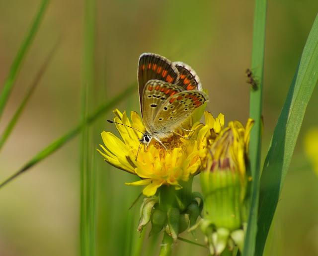 Aricia agestis DENIS & SCHIFFERMÜLLER, 1775, femelle. Hautes-Lisières (Rouvres, 28), 24 avril 2011. Photo : J.-M. Gayman