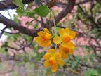 Fremont's Mahonia blossoms