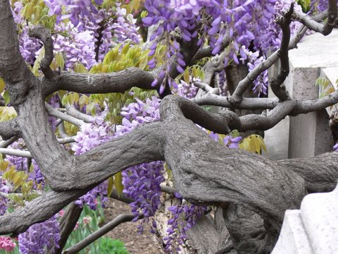 Ancient trunks of wisteria