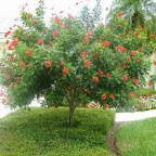jatropha tree standard.jpg