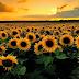 Hoa hướng dương tiếng Anh là gì?