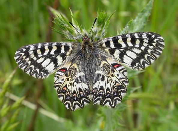 Zerynthia polyxena DENIS & SCHIFFERMÜLLER, 1775, femelle. Photo : David Demerges, 2 mai 2005.