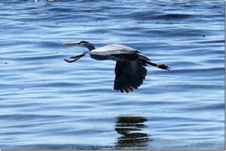 lopez flying blue heron 042318 00001