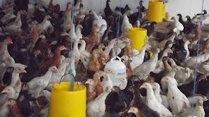 Panduan Lengkap Usaha Ternak Ayam Kampung Untuk Pemula